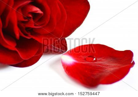 Red rose petals with water drop on white background.