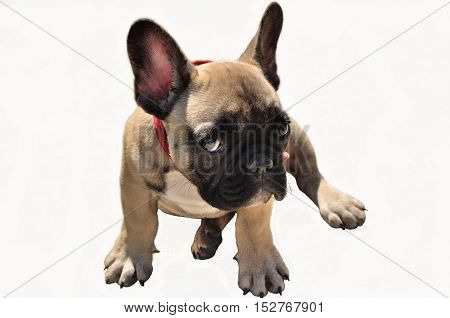 It,s not me: Pale yellow puppy of French bulldog on white background