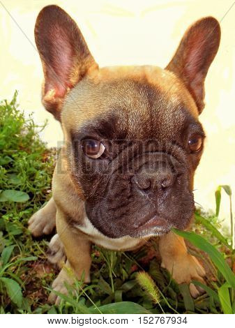 Pale yellow puppy of French bulldog on green grass on white background