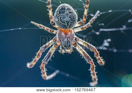 Big arachnid spider in its spiderweb waiting silent for victims. Nothing for arachnophobic or arachnophobia. The insect in its trap web visualizes the macro danger of nature.