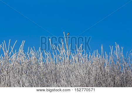White winter forest with blue sky and snowy tree branches. Wonderful cold xmas weather scene with winter forest trees and branches full of ice and snow and a little bird. Copyspace. Part of cool series.