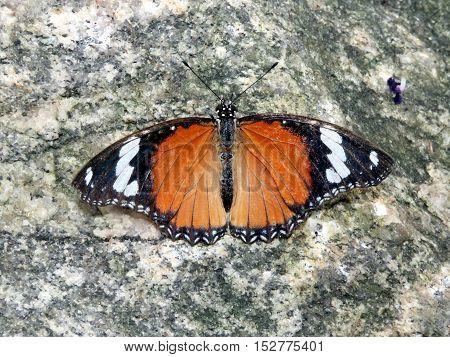 Danaid eggfly butterfly in garden of Niagara Falls Ontario 16 July 2016 Canada