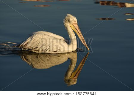 Pelican swimming with reflection on blue sea.