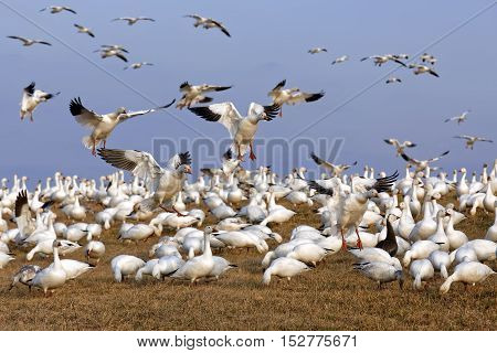 Thousands of migrating Snow Geese ( Chen caerulescens ) fly in for a layover in Lancaster County Pennsylvania USA.