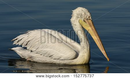 Pelican swimming on blue sea, closeup, isolated.