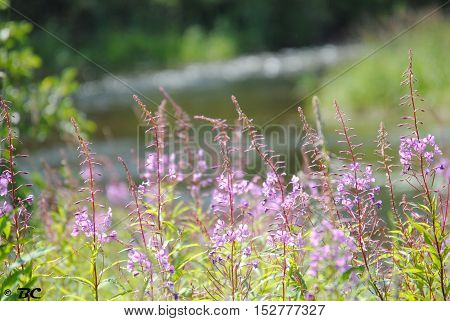 Purple Flowers by the creek in ely, minnesota