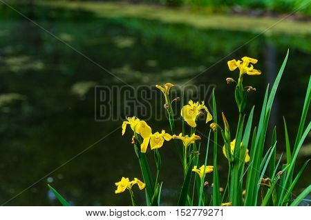 Yellow irises growing at Beaver Marsh in Cuyahoga Valley National Park