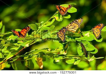 A gathering of monarch butterflies on a sumac branch during their annual migration