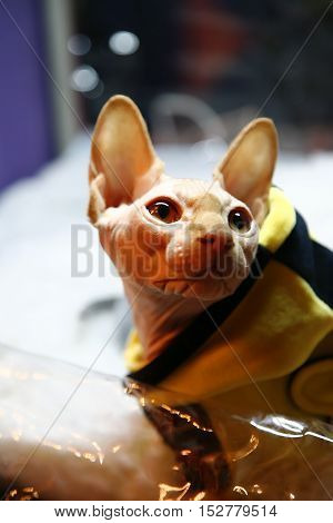 Sphynx cat in a suit close-up portrait