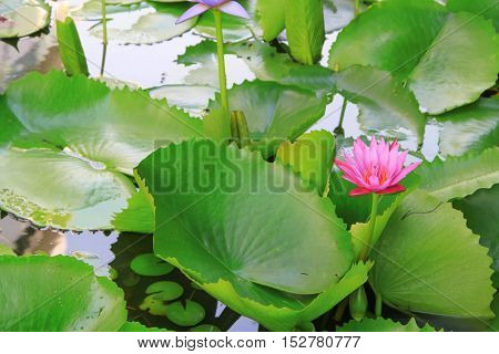 Lotus lilly pink selective focus on water beautiful