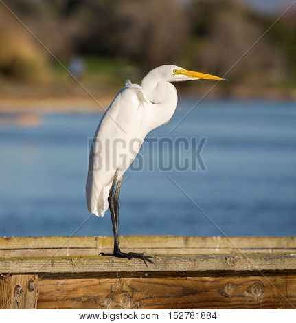 Great Egret, Common Egret, Large Egret, Great White Heron - Ardea alba