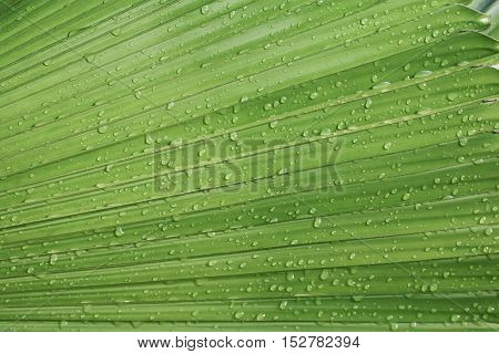 Palm leaf texture background with rain drop