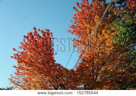 autumn tree trimmed for electricity line safety in winter season