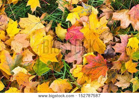 Yellow and red leaves on green grass, autumn ground texture.