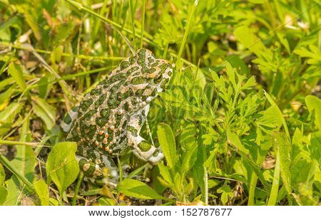 Big green toad hiding in spring grass