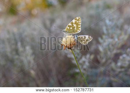 Two butterflies (Pontia daplidice) sitting on the last autumnal wild flower