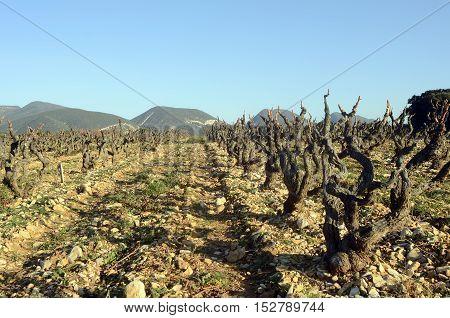Vineyards In Drome Provencal In France