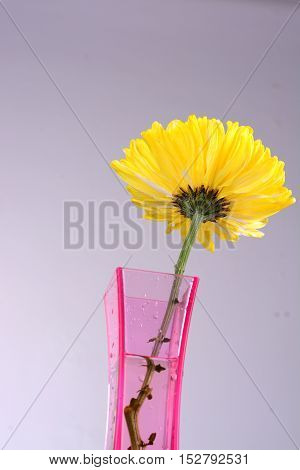 yellow chrysanthemums in pink vase  with isolated white background.