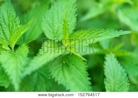 Green nettle herbal, field, botanical background closeup