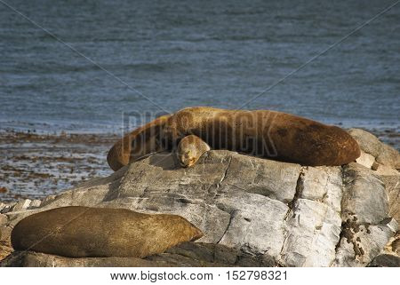 Couple of sea lions sunbathing in the beagle channel
