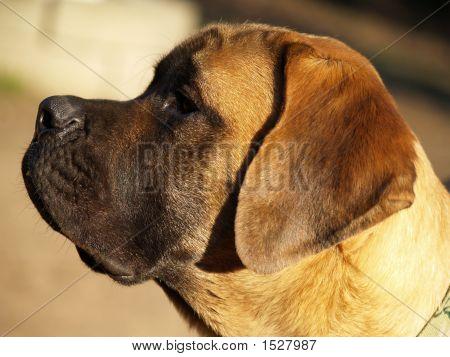 Englischer Mastiff