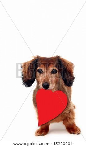 Cute dachshund holding a red heart in her mouth. Add your own text.