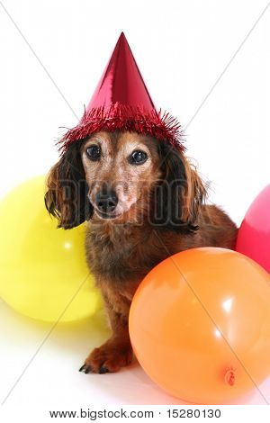 Birthday dog. Part of a series of holiday photos with the same dog.  (Studio shot)