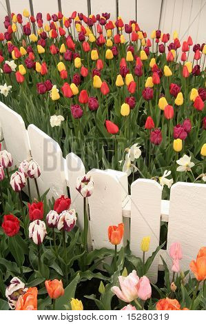 Multi colored tulips surrounded by a white picket fence.