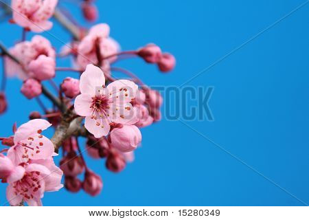 Beautiful cherry blossom against a bright blue sky, shallow dof, focus on the center blossom.