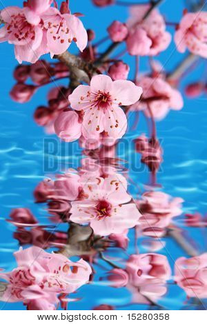Cherry blossom reflection in water.