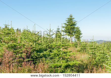 Landscape with a pine plantation in a nursery in Winterberg Germany.