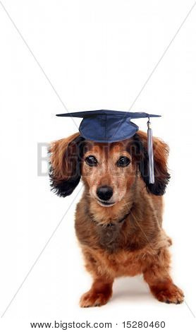 Longhair dachshund wearing a grad cap. Part of a series of holiday pictures featuring the same dog.