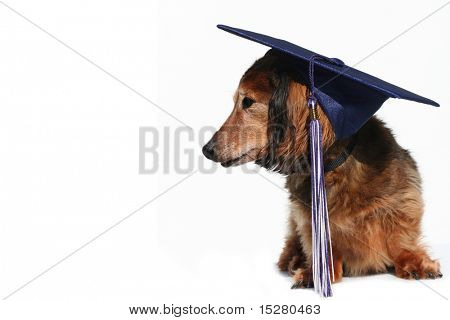 Longhair dachshund wearing a grad cap. (part of a series of holiday pictures featuring the same dog)