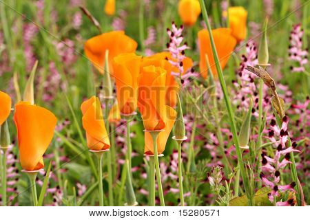 Orange poppies and purple salvia wildflowers.