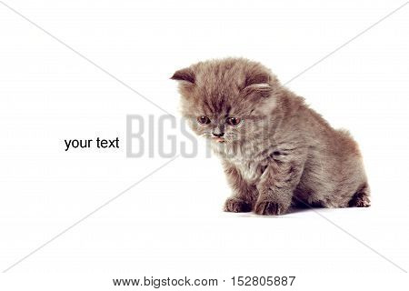 kitten Selkirk Rex on a white background gray color space for text or postcards advertising products for cats