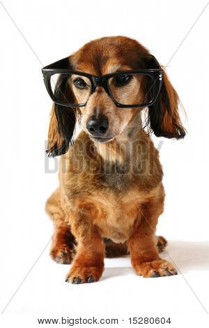 Smart dog, dachshund with glasses on. Part of a creative series featuring the same pup.