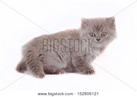 kitten Selkirk Rex on white background gray color frightened look cute pet for the family