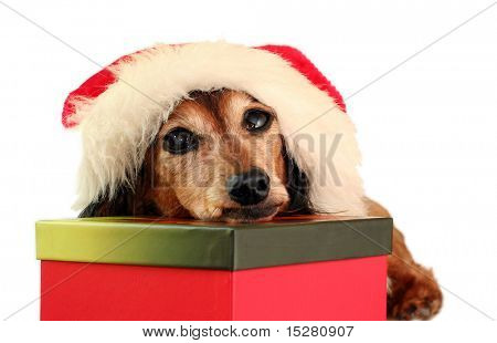 Santa Dachshund. Part of a series of holiday photos featuring the same dog.