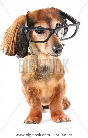 Intelligenter Hund. Langhaar Dackel mit Brille.