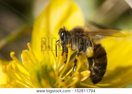 a honeybee pollinating a yellow winter aconite