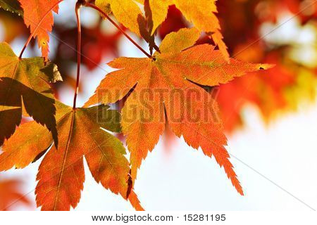 Beautiful maple leaves in autumn.