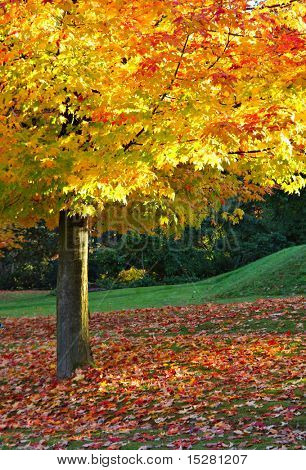 Maple tree foliage in autumn.
