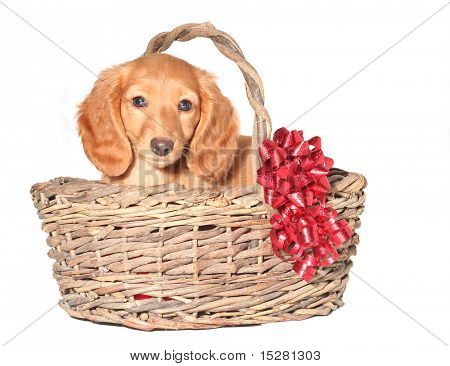 Dachshund puppy in a wicker basket.