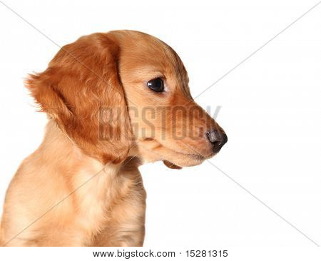 Dachshund puppy isolated on white.