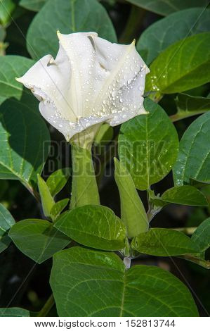 Texture, Pattern, Background. Datura Flower. An Acutely Disturbed State Of Mind That Occurs In Fever