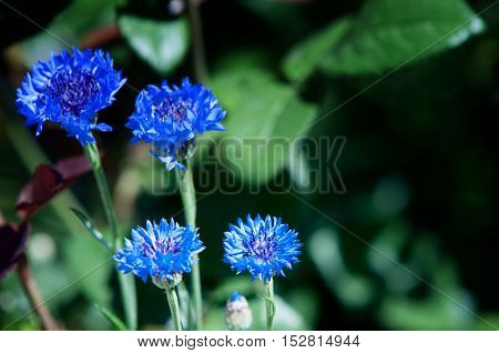 Flowers Cornflowers. A Slender Eurasian Plant Related To The Knapweed, With Flowers That Are Typical