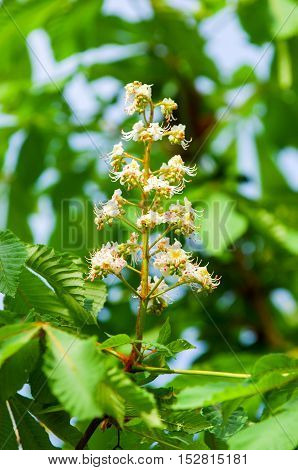 Chestnut Flowers.
