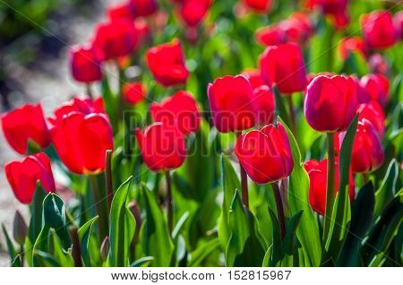 Closeup of bright red blooming tulip bulbs in backlit growing in the field of a specialized Dutch tulip bulbs grower on a sunny day in springtime. Some flowers are already been beheaded.