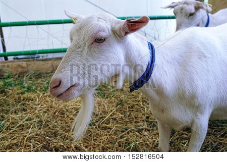 Tyumen, Russia - June 24, 2016: The 5th open championship of Russia on a plowed land. Zaanensky breed of goats. The goat homeland in the town of Zaanen in Switzerland