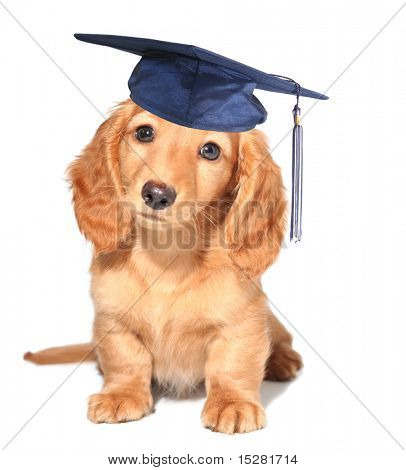 Miniature dachshund puppy wearing a mortar board hat for graduation.
